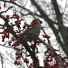 A Pine Grosbeak stops by campus for a snack