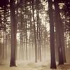 More fog among the pines